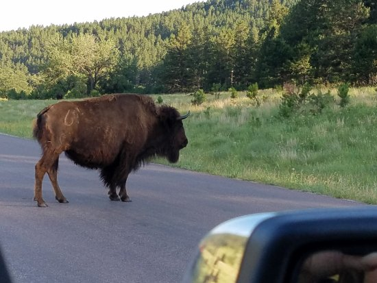 Custer State Park: Buffalo as seen from our truck
