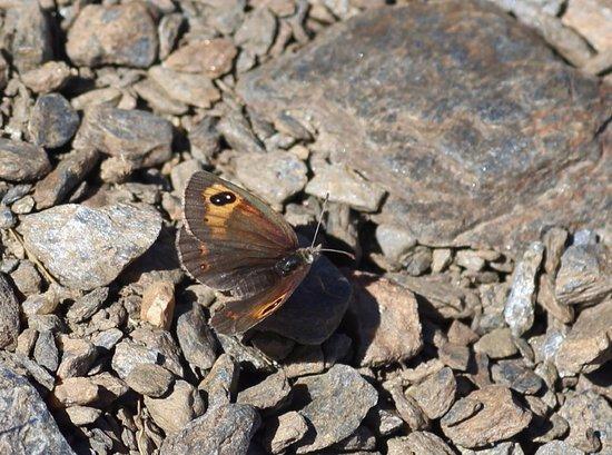provincie Granada, Spanje: Spanish Brassy Ringlet (Sierra Nevada endemic)