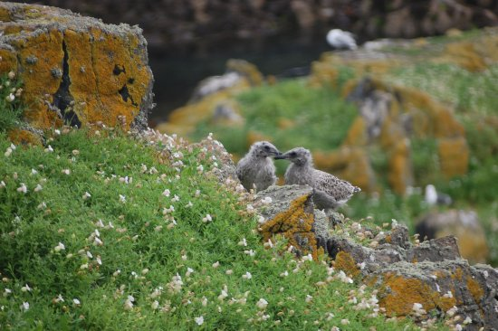 Anstruther, UK: Seabirds and their young