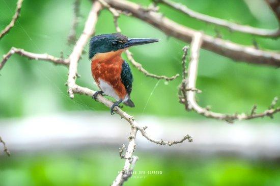 San Carlos, Nicaragua: kingfisher