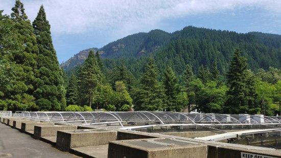 Cascade Locks, OR: Rearing ponds