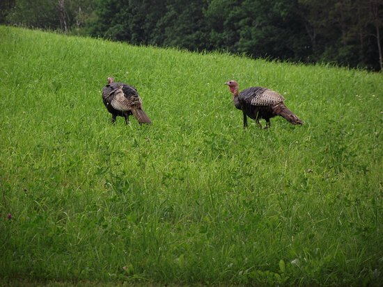 MASSACHUSETTS - SPENCER - SAINT JOSEPH'S ABBEY - WILD TURKEYS STRUT THE LAWNS