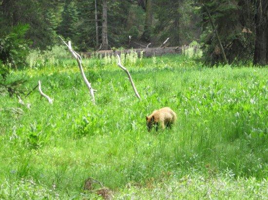 Three Rivers, CA: young black bear near trail