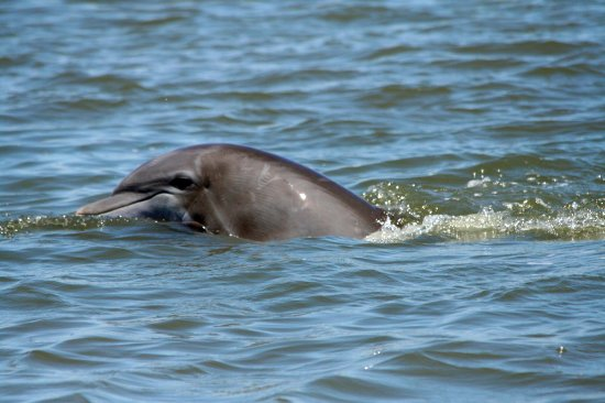Isola Edisto, Carolina del Sud: Dolphin ecotours are a GREAT way to enjoy the water and learn about Edisto's ecosystem.