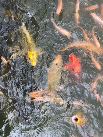 Батурити, Индонезия: Dedari fish