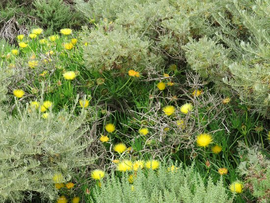 Point Lobos State Reserve: Point Lobos wildflowers