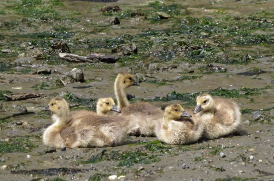 Friday Harbor, WA: Canada Geese goslings at Small Pox Bay, end of kayak trip