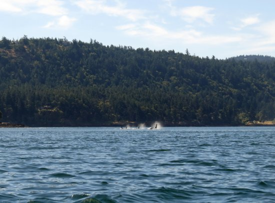 Friday Harbor, WA: orcas viewed from kayak on 2-nt trip, near Small Pox Bay. All boats must stay 200 yds from orcas