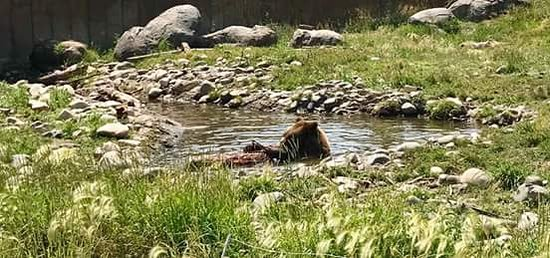 Montana Grizzly Encounter: FB_IMG_1500724654160_large.jpg