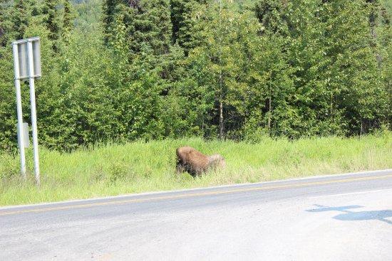 Cooper Landing, AK: Moose