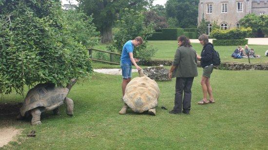 Burford, UK: Giant tortoises