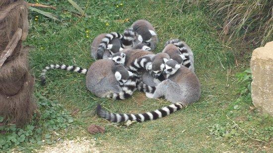Burford, UK: Ring tail lemurs