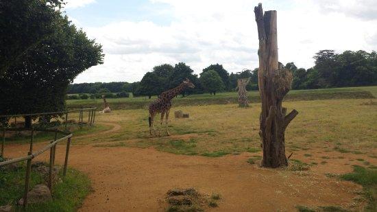 Burford, UK: Giraffes