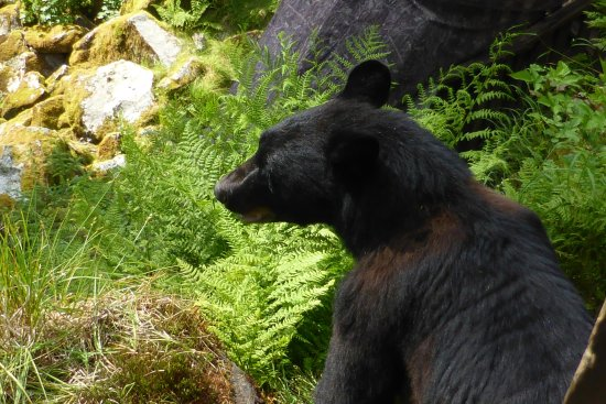 Wrangell, AK: Up close and personal viewing of wild black bears doing what they do naturally. 2 metres away