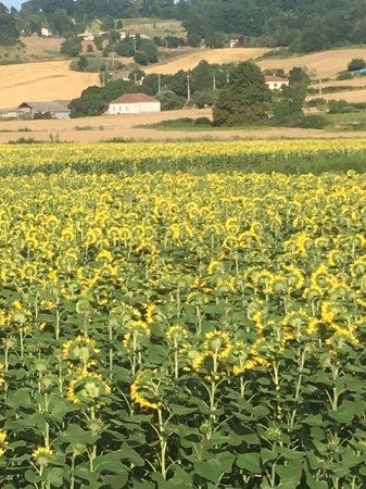 Lauzerte, Prancis: Sunflower fields on approach to Salazar...