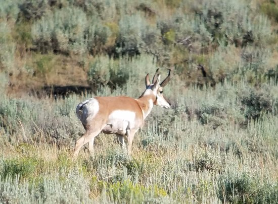 Gardiner, MT: Pronghorn - amazing to see them in full sprint