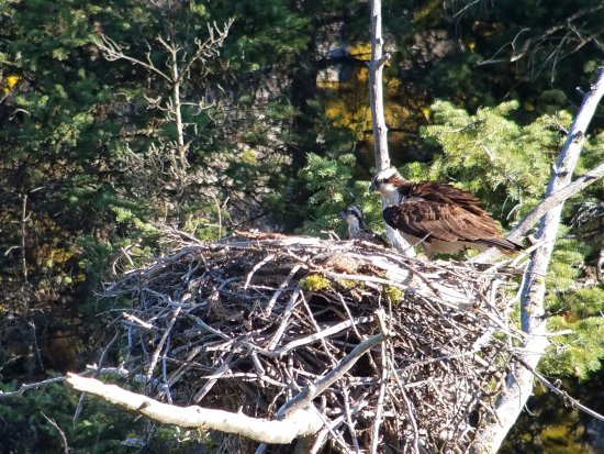 Gardiner, MT: Ospreys in their nest