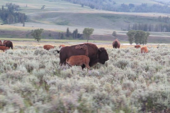 Gardiner, MT: Playful bison blocked our way in the evening.