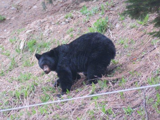 Manning Park, Canadá: Black bear