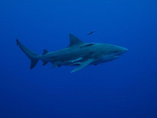 Ponta do Ouro, Mozambico: bull sharks