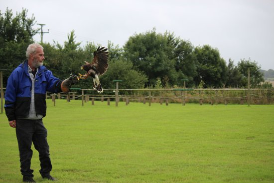 Cullompton, UK: Hawk landing on Steve