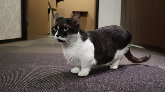 Cat Cafe Calico Shinjuku: They have two munchkins roaming around.