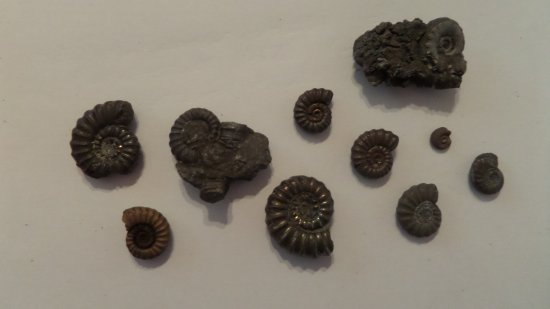 Charmouth, UK: Ammonites, golden pyrite ones look amazing
