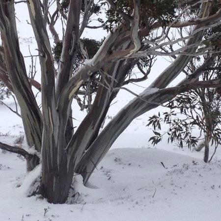 Kosciuszko Chalet Hotel: Snow gums on the mountain