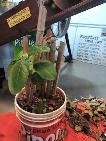 San Antonio, الأرجنتين: Ejemplo de planta de Yerba mate