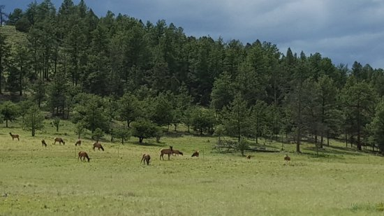 Florissant, CO: Elk herd