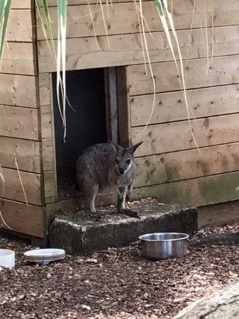 Hamilton, Bermudas: Looks like a kangaroo but isn't - can't recall name