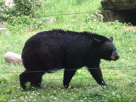 Ely, MN: O urso chegando do passeio