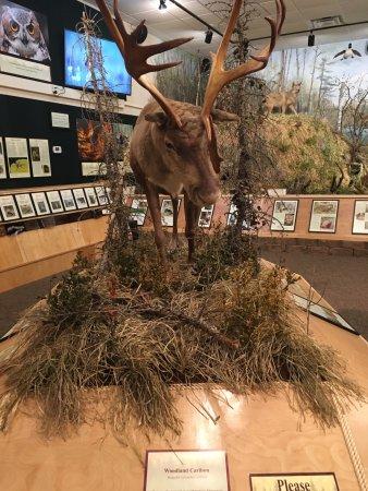 Ely, MN: O cervo