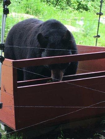 Ely, Minnesota: O urso fazendo o seu lanche (frutas)