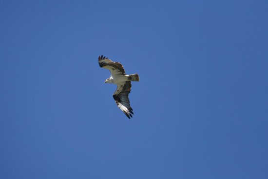 West Glacier, MT: We saw a number of Osprey and Eagle fishing as well.