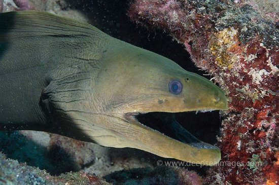 Boynton Beach, FL: Green Moray on a dive with Starfosh Scuba