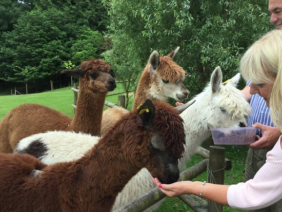 Umberleigh, UK: Feeding the alpacas.