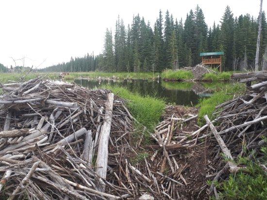 Hinton, Kanada: These dams show the busy little Beaver's job