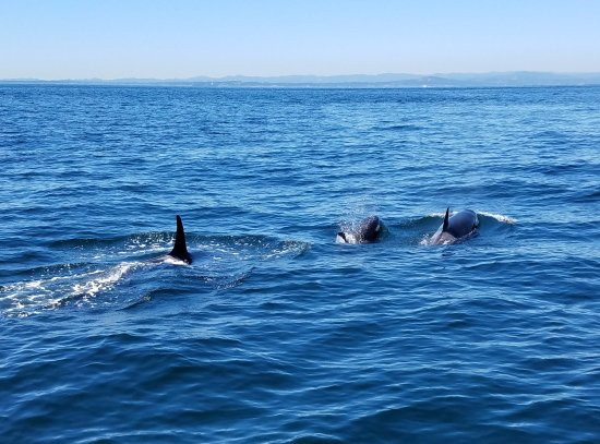 Port Townsend, WA: Three Orcas from the resident L pod.