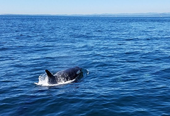 Port Townsend, WA: Breeching Orca from L pod