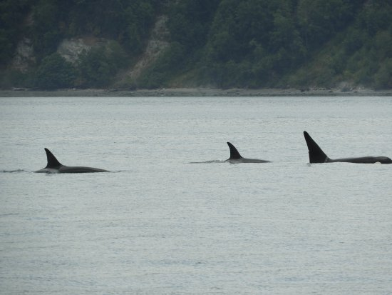 Port Townsend, WA: Orca pod in Puget Sound