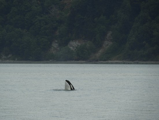 Port Townsend, WA: Spy hopping Orca