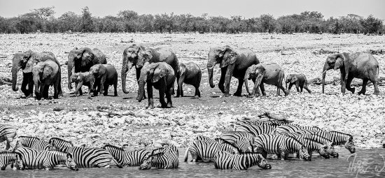 Okaukuejo Resort: The in-camp wateringhole is probably on of the best in whole of Etosha.