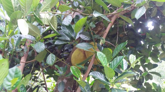 Finca Exotica Ecolodge : Jackfruits were part of the huge variety of exotic fruits