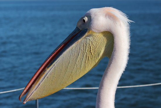 Walvis Bay, Namibia: Pelican On Deck