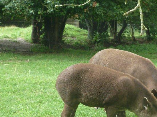 Linton, UK: Mother and son Tapir