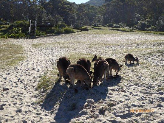Shoalhaven, Australia: Pebbly Beach Kangaroos