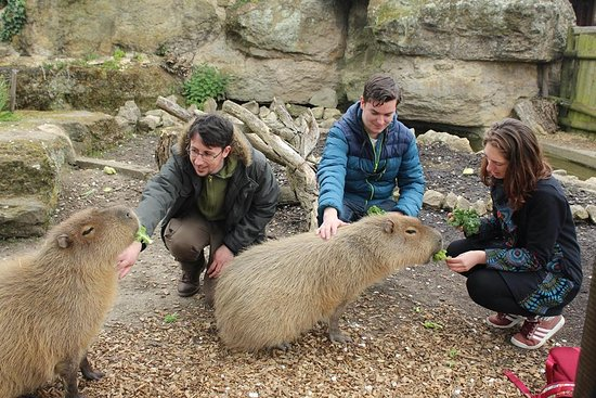 Chessington World of Adventures Resort: All of us on the capybara experience
