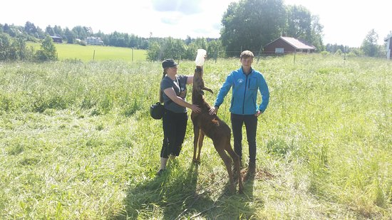 Orrviken, Sweden: A lucky guest may get to feed a baby moose.