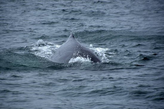 Moss Landing, CA: We saw more than 20 whales the day we went. Great crew with sharp eyes helped point them out. Hu